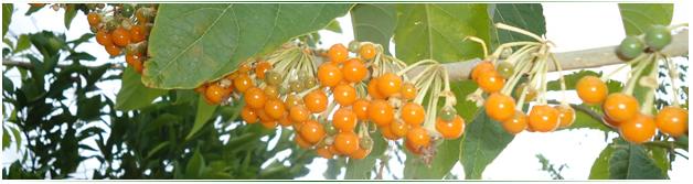 Fruta de Sabiá