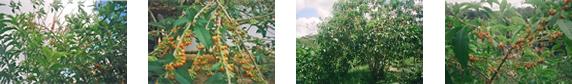 Fotos da fruta de sabiá