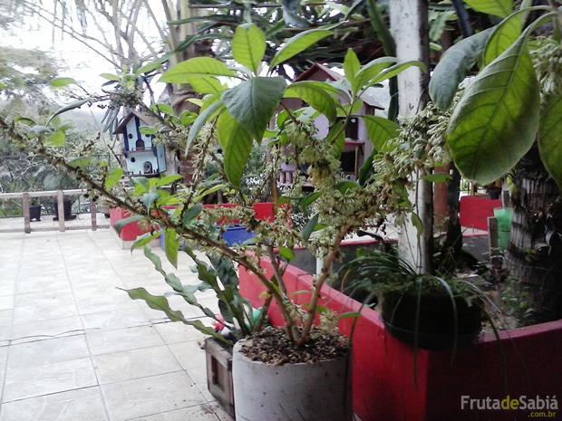 Fruta de Sabiá plantada em vaso 1.