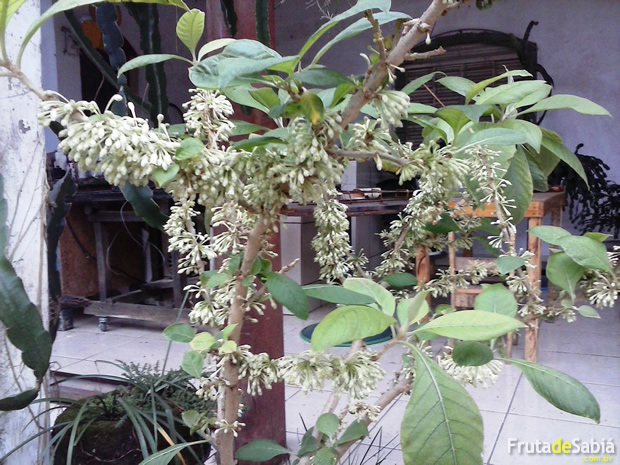 Fruta de Sabiá plantada em vaso 2.