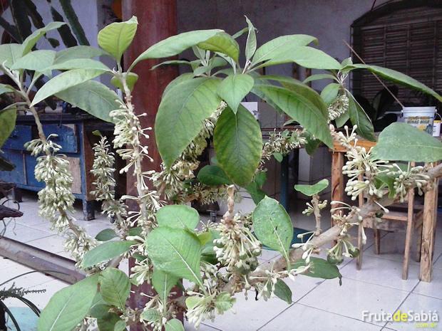 Fruta de Sabiá plantada em vaso 3.