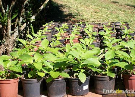Fruta de Sabiá - Vasos do Antônio