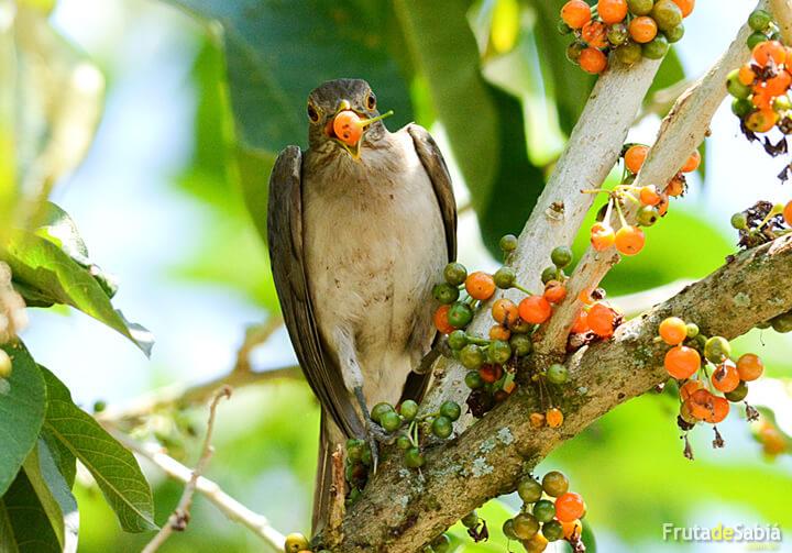 Fruta de sabi fruta de sabi esta planta apresenta uma vasta distribuio geogrfica ocorrendo desde o caribe e amrica central at a regio sudeste do brasil geralmente em capoeiras altavistaventures Images